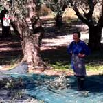 family picking olives