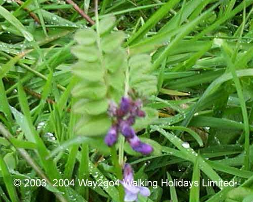 Wild flowers we have found walking the coast in Cornwall & Devon