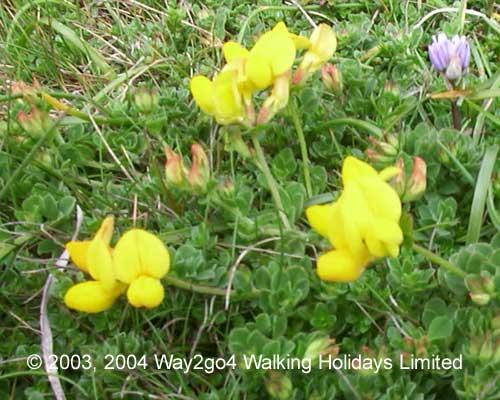 Wild flowers we have found walking the coast in cornwall devon mightylinksfo